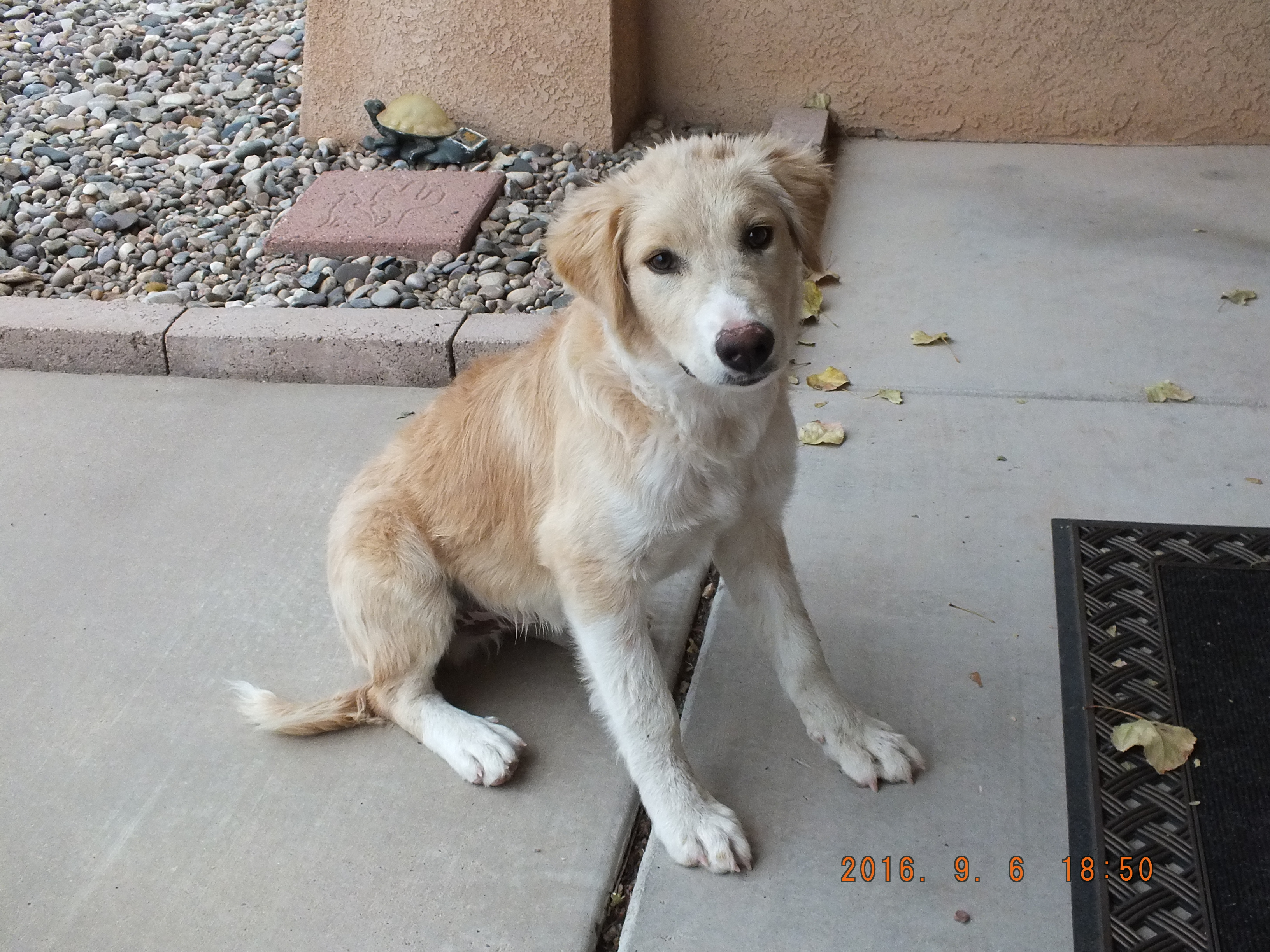 Golden Retreiver Rescue of New Mexico